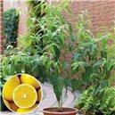 Citrónový eukalyptus - eukalyptus - semienka rastliny 7 ks