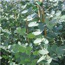 Eukalyptus Guni - semienka rastliny 12 ks