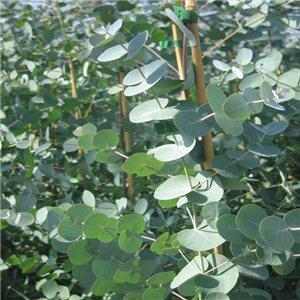 Eukalyptus Guni (exotická rastlina: Eucalyptus gunnii) 12 semien eukalyptu