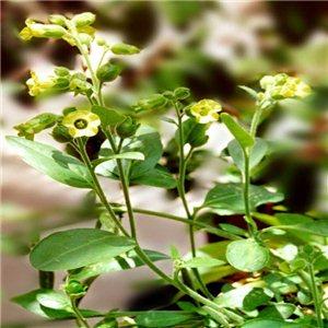 Tabak Selský (rastlina: Nicotiana rustica) cca 200 semienok tabaku