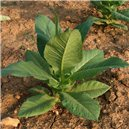 Tabák Havana (nicotiana tabacum) - semínka rostliny 200-300 ks