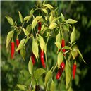 Mix chilli papriček (Capsicum) - semínka rostliny 10 ks