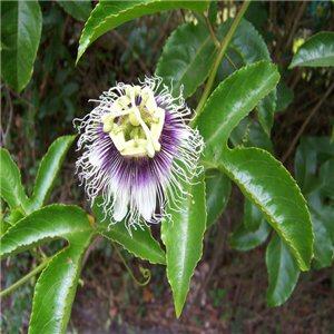 Mučenka jedlá (exotická rastlina: Passiflora edulis) 12 semien mučenky