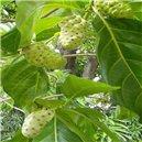 Noni citrusolistá ( exotická rostlina:  Morinda citrifolia ) 7 semen noni