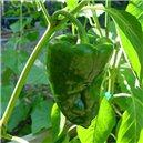 Poblano Ancho - semienka rastliny 10 ks