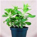 Sladká Stévia - semienka rastliny 5 ks
