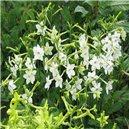 Okrasný tabak (rastlina: Nicotiana alata) 200 semien