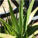 Aloe Pravá - aloe vera - semienka rastliny 7 ks