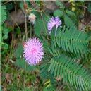 Mimosa pudika-mäsožravka-semienka rastliny 7 ks