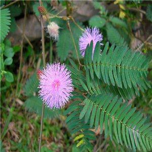 Citlivka stydlivá ( masožravá rostlina: Mimosa pudica ) 7 semen citlivky