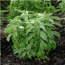 Stévia Sladká - semienka rastliny 12 ks