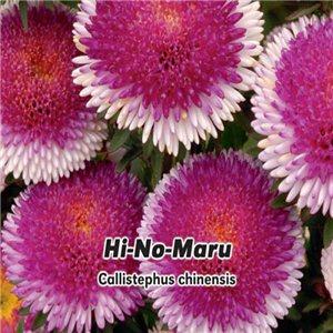 Astra čínska - Hi-No-Maru (Callistephus chinensis ) 0,4 g osiva astry