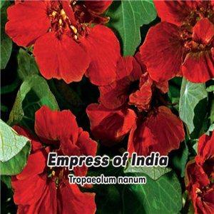 Kapucínka nízka - Empress of India (kvetina: Tropaeolum Nanu) 2 g osiva kapucínka