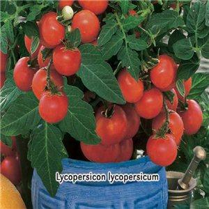 Rajčiak kríčkový balkónové (zelenina: Lycopersicon lycopersicum) 0,2 g osiva paradajok