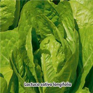 Šalát rímsky (zelenina: Lactuca sativa longifolia) 0,8 g osiva šalátu