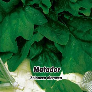 Špenát siaty - Matador (zelenina: Spinacia oleracea) 8 g osiva špenátu