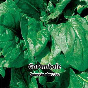 Špenát setý F1 - Carambole ( zelenina: Spinacia oleracea )  5 g osiva špenátu