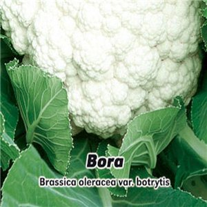 Karfiol jarný - Bora (zelenina: Brassica oleracea var. Botrytis) 0,4 g osiva karfiolu