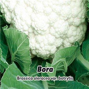 Květák jarní - Bora ( zelenina: Brassica oleracea var. botrytis ) 0,4 g osiva květáku