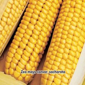 Kukurica cukrová Golden Bantam (zelenina: Zea mays) 7 g osiva kukurice