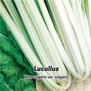 Mangold - Lucullus ( zelenina: Beta vulgaris ) 4 g osiva mangoldu