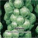 Kapusta růžičková F1 - Dolores - semena 50 ks