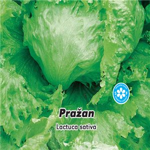 Salát hlavkový ledový- Pražan ( zelenina: Lactuca sativa ) 0,5 g osiva salátu