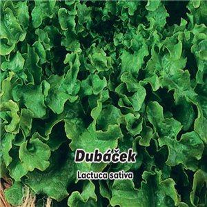 Šalát listový - Dubáček (zelenina: Lactuca sativa) 0,5 g osiva šalátu