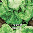 Hlávnkový šalát jarný Lednický - semená 0,5 g