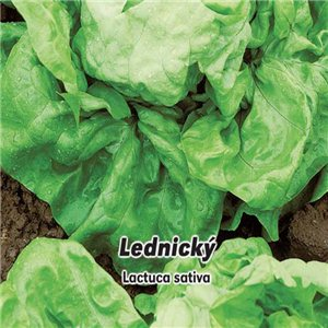 Salát hlavkový jarní - Lednický ( zelenina: Lactuca sativa ) 0,5 g osiva salátu