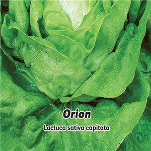 Salát hlavkový jarní i k rychlení - Orion ( zelenina: Lactuca sativa capitata ) 0,5 g osiva salátu