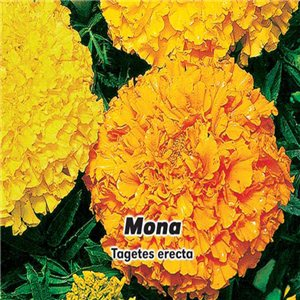 Aksamietnica veľkokvetý nízky - Mona (kvetina: Tagetes erectas) 0,6 g osiva aksamietnice