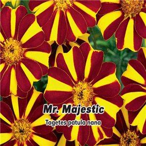 Aksamietnica rozložitá jednoduchý - Mr Majestic (kvetina: Tagetes patula nana) 0,3 g osiva aksamietnice