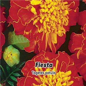 Aksamietnica rozložitá - Fiesta (kvetina: Tagetes patula) 0,8 g osiva aksamietnice
