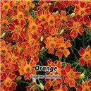 Aksamietnica - Orange - semená 0,2 g