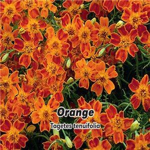 Aksamietnica - Orange (kvetina: Tagetes tenuifolia) 0,2 g osiva aksamietnice
