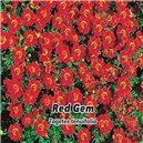 Aksamietnica - Red Gem - semená 0,2 g