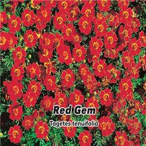 Aksamietnica - Red Gem (kvetina: Tagetes tenuifolia) 0,2 g osiva aksamietnice
