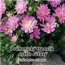 Astra Průhonický trpaslík - Ružová - semená 0,5 g