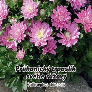 Astra čínska - Průhonický trpaslík ružový (kvetina: Callistephus chinensis) 0,5 g osiva kvetín