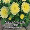 Astra Průhonický trpaslík - Žltá - semená 0,5 g