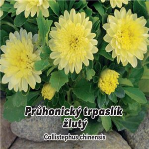 Astra čínska - Průhonický trpaslík žltý (kvetina: Callistephus chinensis) 0,5 g osiva kvetín