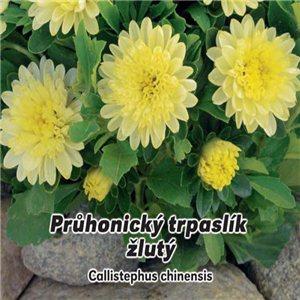 Astra čínská - Průhonický trpaslík žlutý ( Callistephus chinensis ) 0,5 g osiva květin