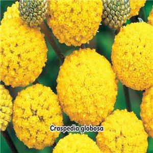 Kraspédie - Billy Button ( květina: Craspedia globosa ) 0,1 g osiva kráspédie