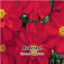 Krásenka sírožlutá - Redcrest ( květina: Cosmos sulphureus ) 1 g osiva krásenky
