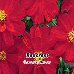 Krasuľka perovitá sírožlutá - Redcrest (kvetina: Cosmos sulphureus) 1 g osiva krasuľka perovitá