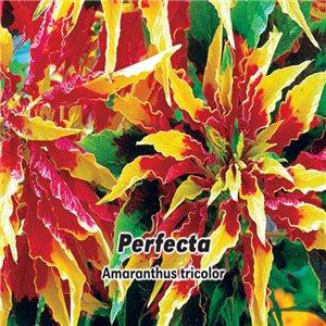 Láskavec trojfarebný - Perfecta (kvetina: Amaranthus tricolor) 0,2 g osiva láskavca