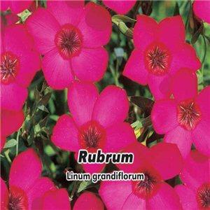Len velkokvětý - Rubrum ( květina: Linum grandiflorum ) 0,4g osiva lnu
