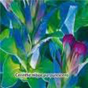 Voskovka větší ( květina: Cerinthe major purpurescens ) 10 semen voskovky