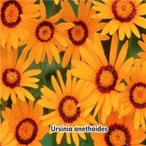 Ursinie ( květina: Ursinia anethoides ) 0,2 g osiva ursinie